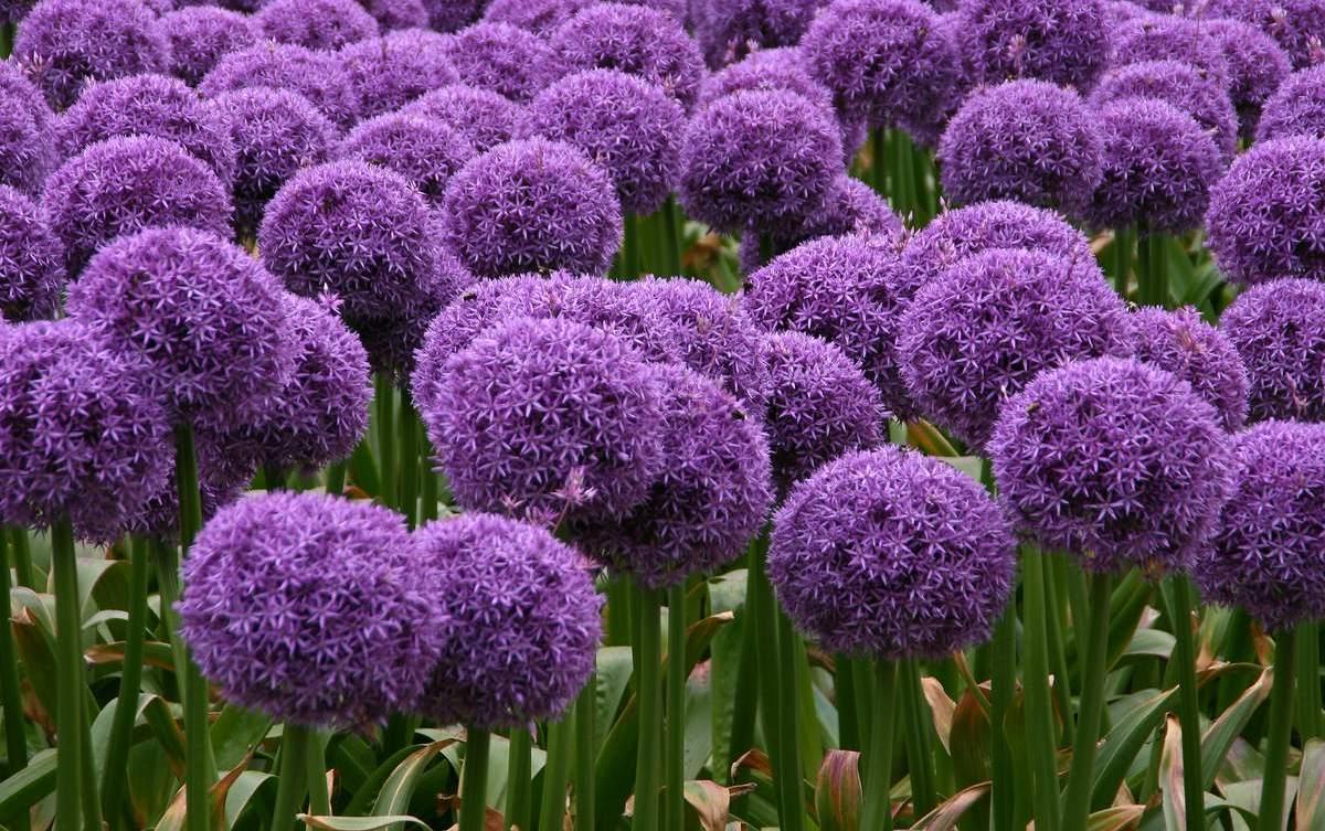 Аллиум (дикий лук): названия сортов и выращивание
