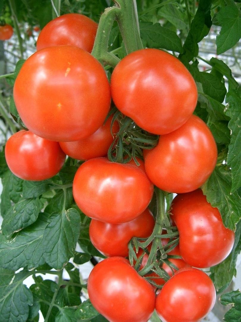 Томат евпатор: описание гибрида и урожайности помидоров, отзывы и фото кустов и полученного с них урожая