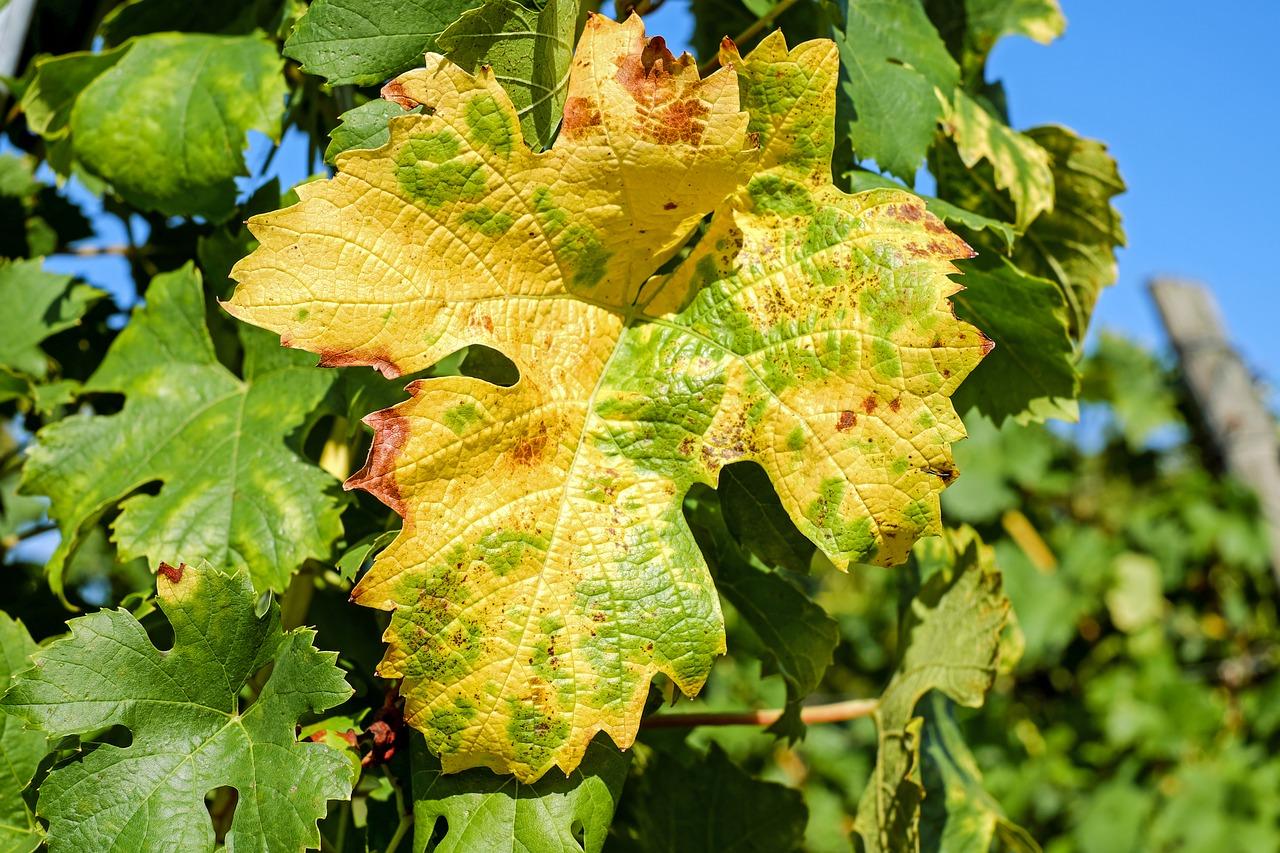 Хлороз винограда: виды, лечение, профилактика заболевания, почему желтеют листья и что с этим делать? selo.guru — интернет портал о сельском хозяйстве