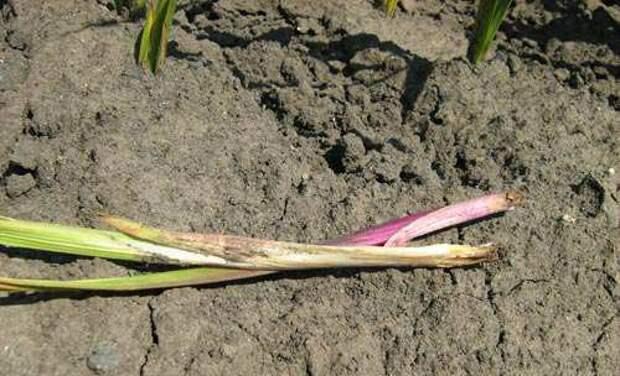 Когда высаживают гладиолусы в грунт, как за ними ухаживать?
