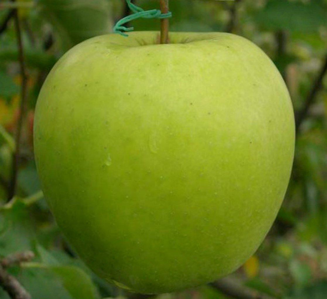 Описание сорта яблони анис полосатый: фото яблок, важные характеристики, урожайность с дерева