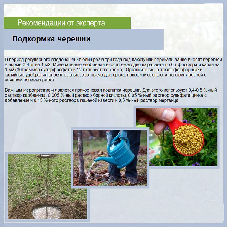 Посадка и уход за черешней, правила подкормки и выращивания