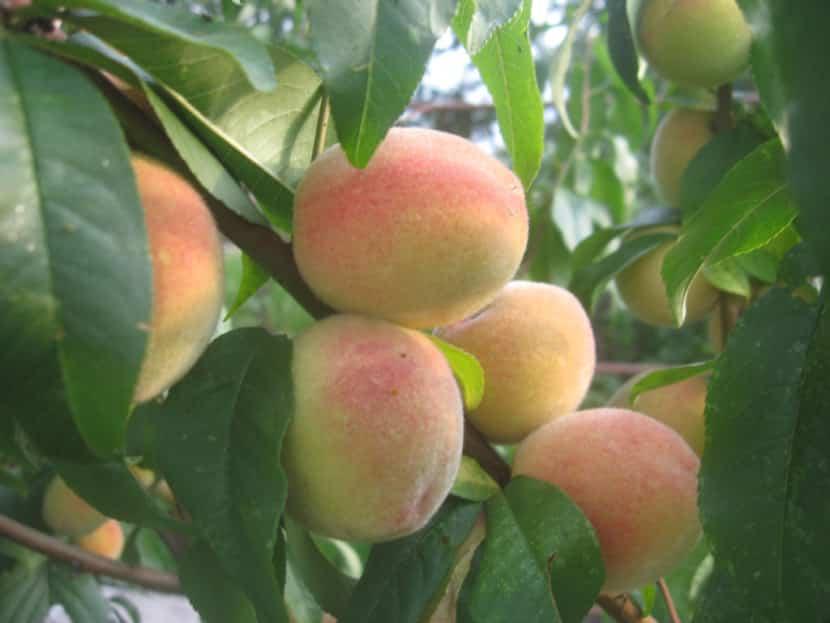 Лучшие сорта персика для подмосковья самоплодные низкорослые - строим дом prombaza.su