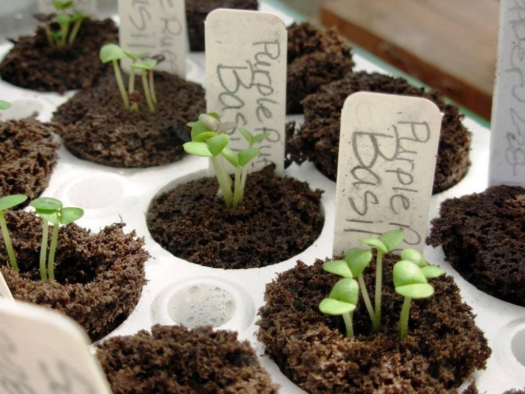 Базилик выращивание из семян на дачном участке
