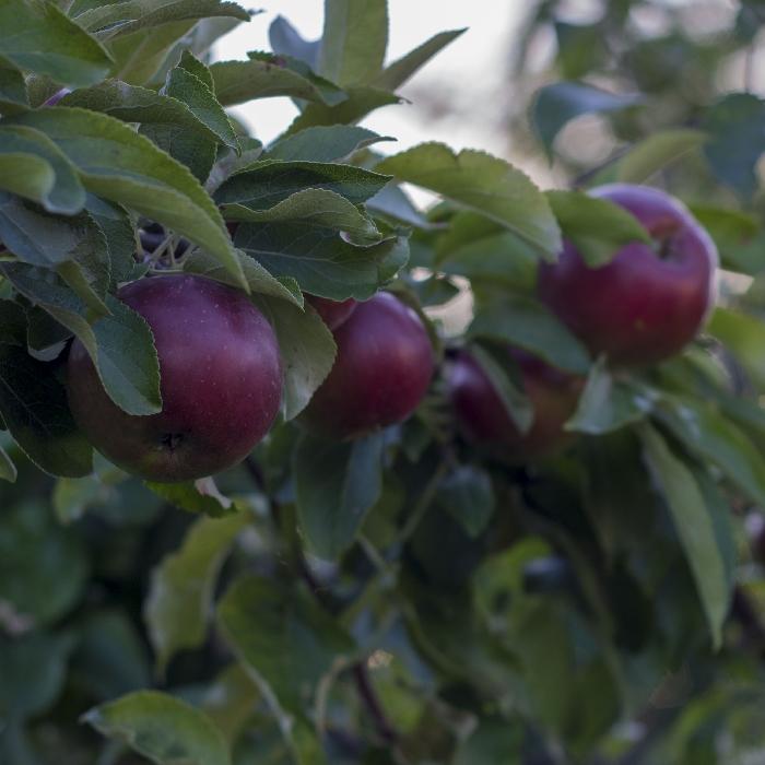 Яблоня коваленковское: описание сорта, посадка и выращивание