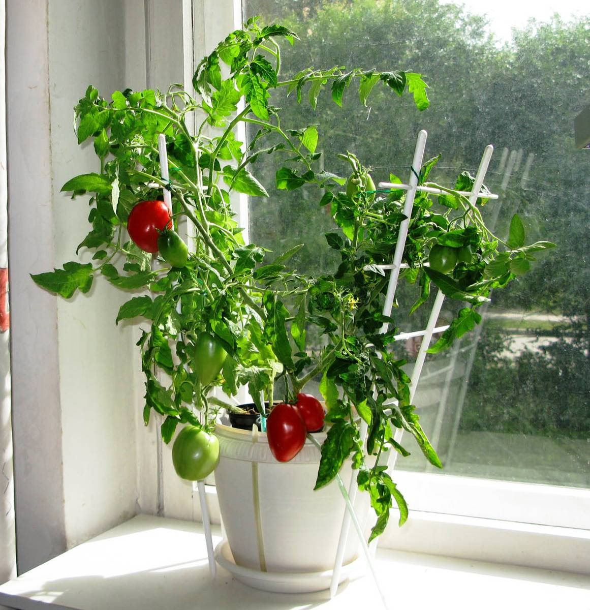 Помидоры черри на подоконнике выращивание и уход, фото и видео