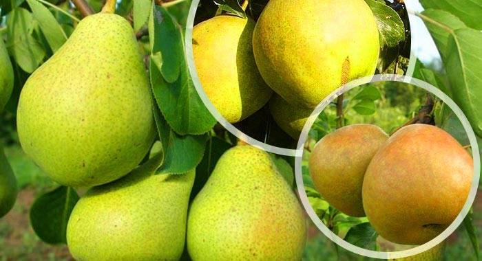 Описание груш сортовой группы Бергамот