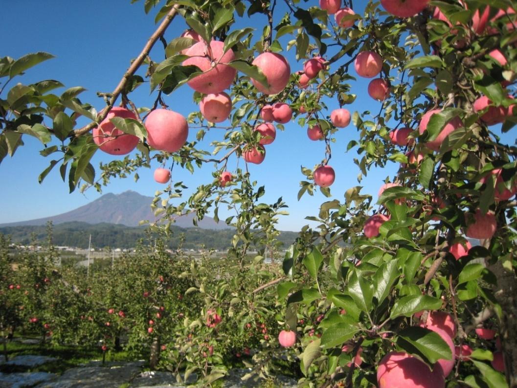 Яблоки фуджи: описание сорта, фото, отзывы, откуда привозят в россию, польза, калорийность