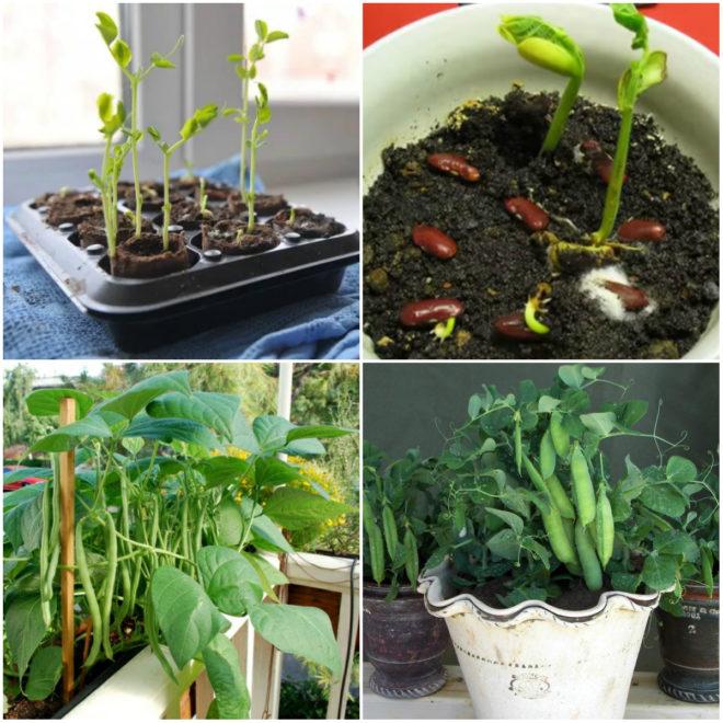 Как вырастить зелень на балконе: лук, петрушка, укроп, зеленый салат и базилик