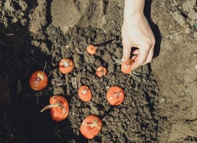 Подготовка гладиолусов к посадке весной: когда доставать луковицы из холодильника после зимнего хранения, как проводить проращивание на урале и в иных регионах?