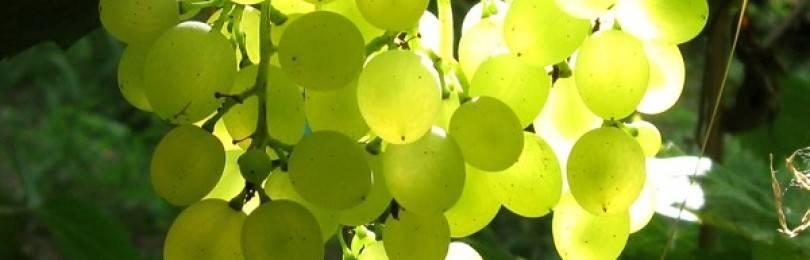 Виноград русбол: описание сорта винограда, фото, выращивание