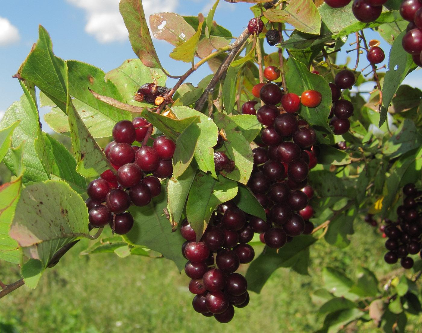 Гибрид вишни и черемухи (церападус): сорта, со смородиной