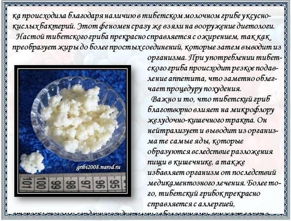 Молочный гриб: полезные свойства, противопоказания, как ухаживать и употреблять