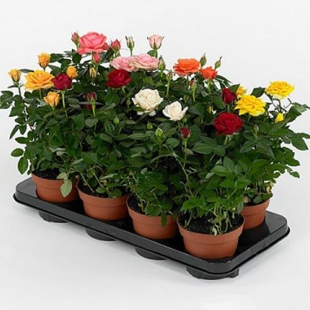 Роза домашняя: уход в домашних условиях. как правильно выращивать комнатные розы в горшках, чтобы они цвели