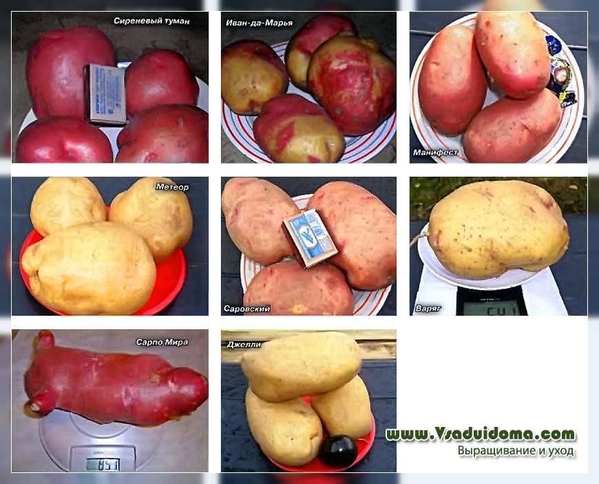 Картофель крепыш: описание и характеристика, фото и отзывы