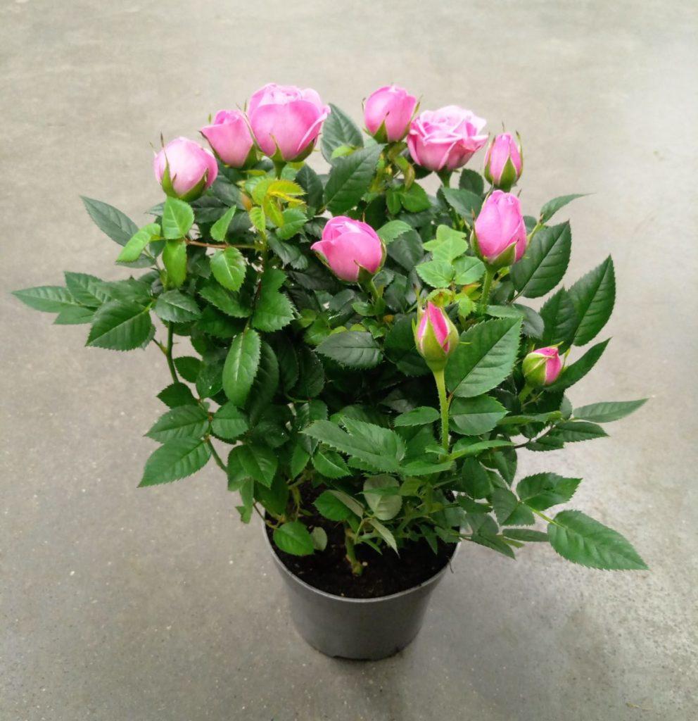 Уход за розой кордана микс после покупки