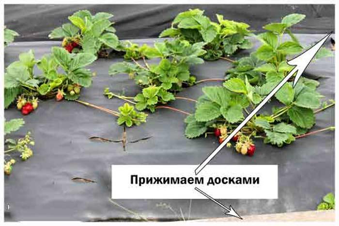 Укрывной материал для клубники: советы по выбору, виды, плюсы, минусы применения, особенности посадки и выращивания
