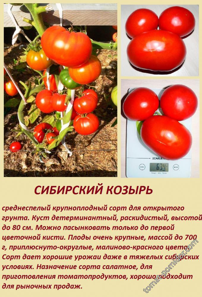 Помидор сибирский скороспелый: урожайный сорт, неподвластный времени