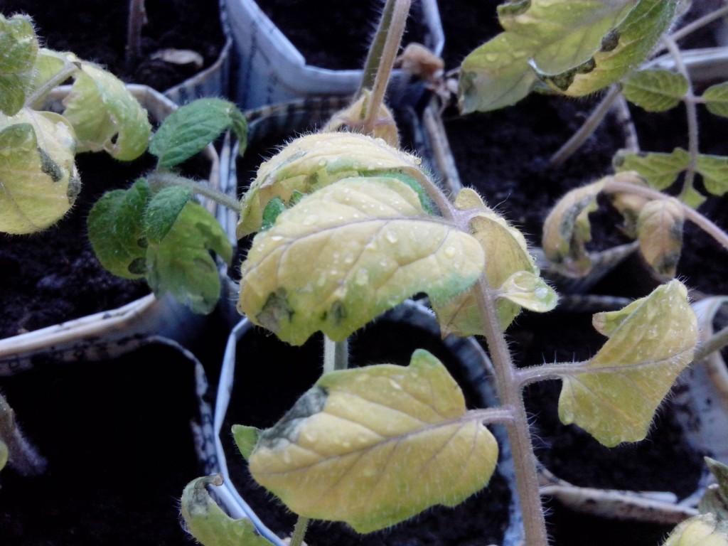 Почему скручиваются листья томата. причины скручивания листьев помидоров. фото — ботаничка.ru
