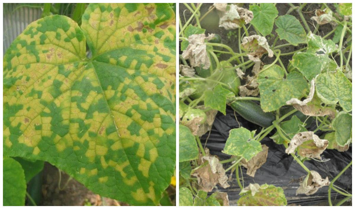 Желтые пятна на листьях огурцов: чем лечить и как лечить