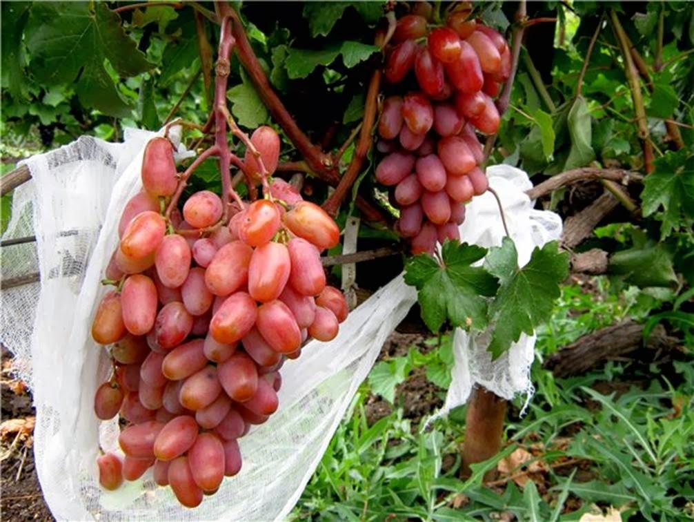 Характеристика винограда сорта сенсация: посадка, описание, фото и видео