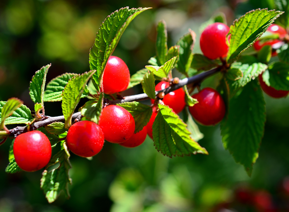 Сорт войлочной вишни «натали»: описание и характеристика