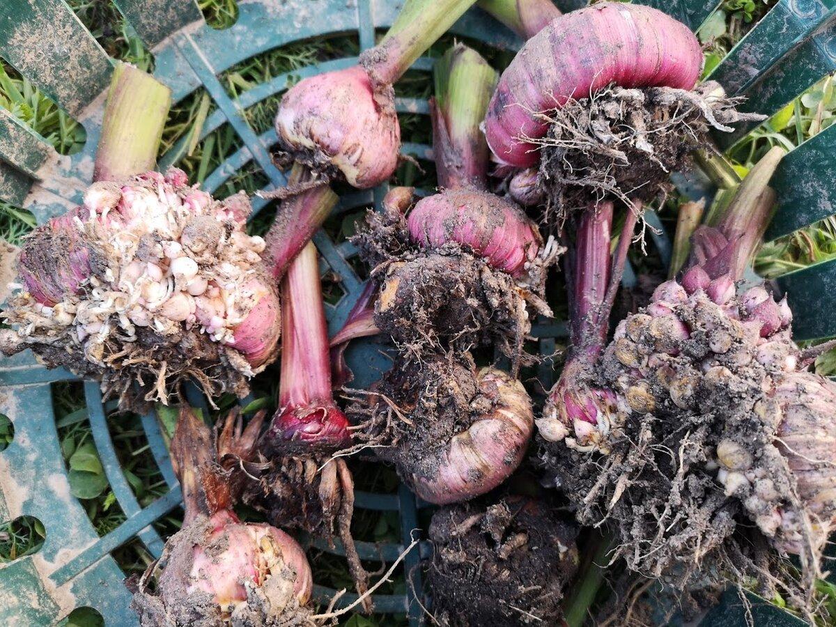 Когда выкапывать гладиолусы и как хранить луковицы зимой
