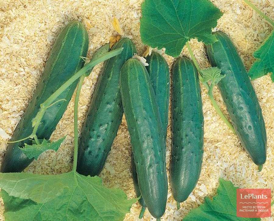 Огурцы мамлюк: особенности сорта, выращивание, уход