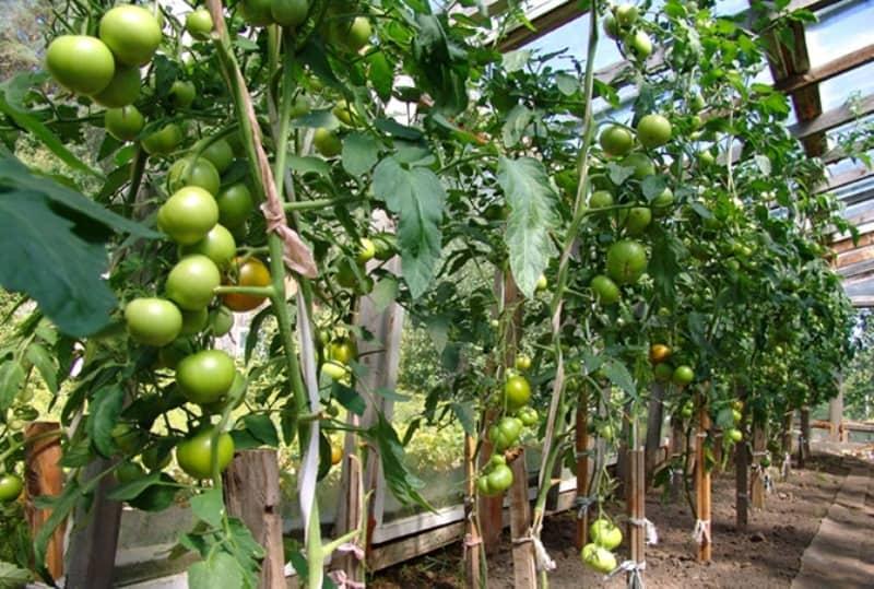 Помидоры благовест: описание сорта, условия выращивания