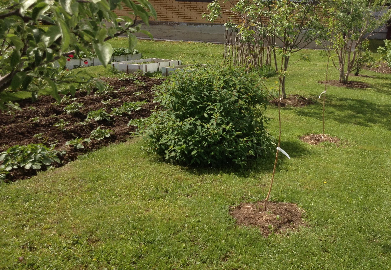 Персик: выращивание из косточки, посадка и уход |+отзывы