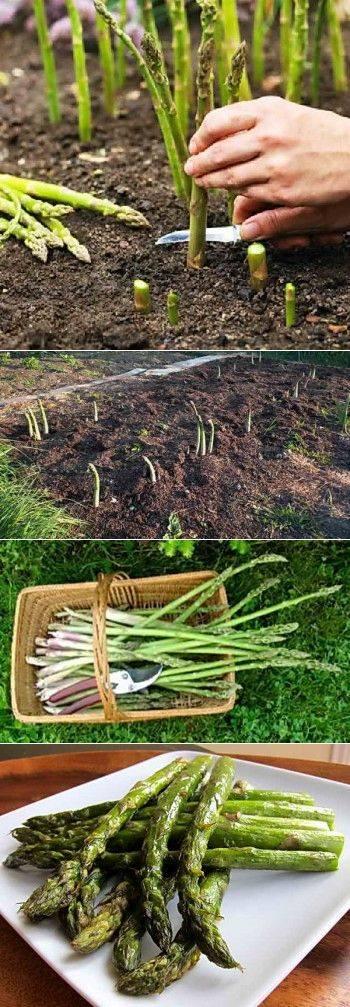 Спаржа белая аржентельская: описание растения, выращивание из семян, особенности посадки и ухода, фото, видео, отзывы