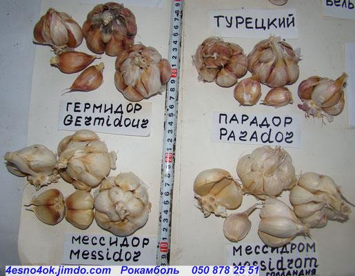 Чеснок мессидор и гермидор: описание и характеристика сортов, выращивание и уход с фото