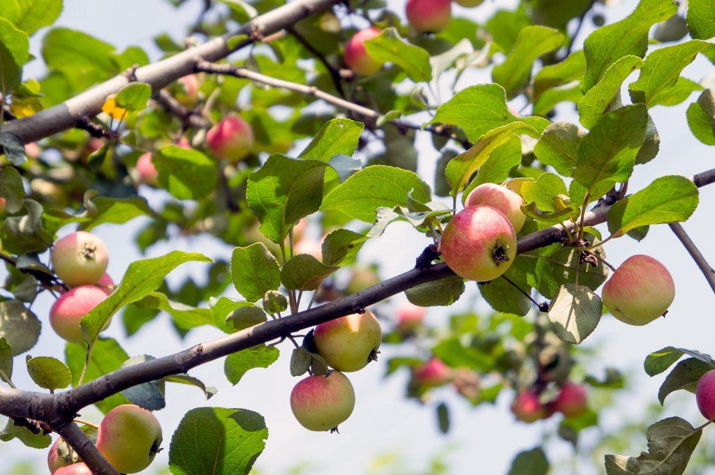 Яблоня уралец: описание, фото, отзывы