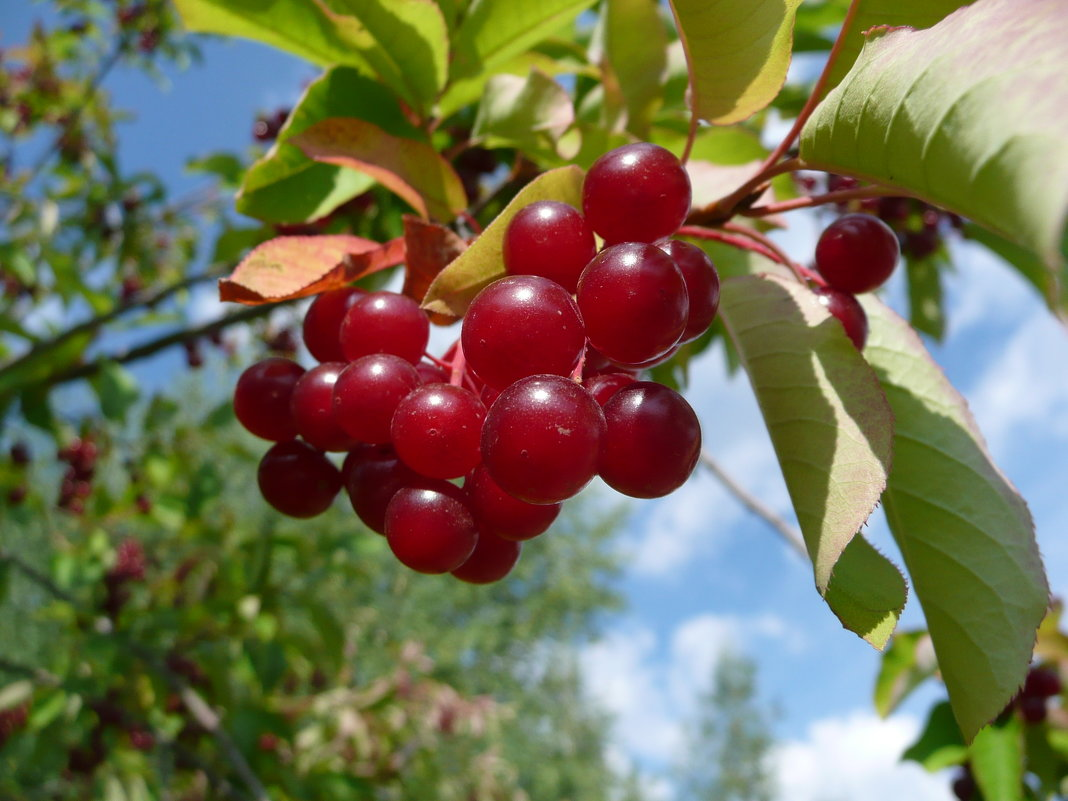 ✅ гибрид черёмухи и вишни: виды, описание, правила выращивания, лучшие сорта, фото, видео - tehnoyug.com