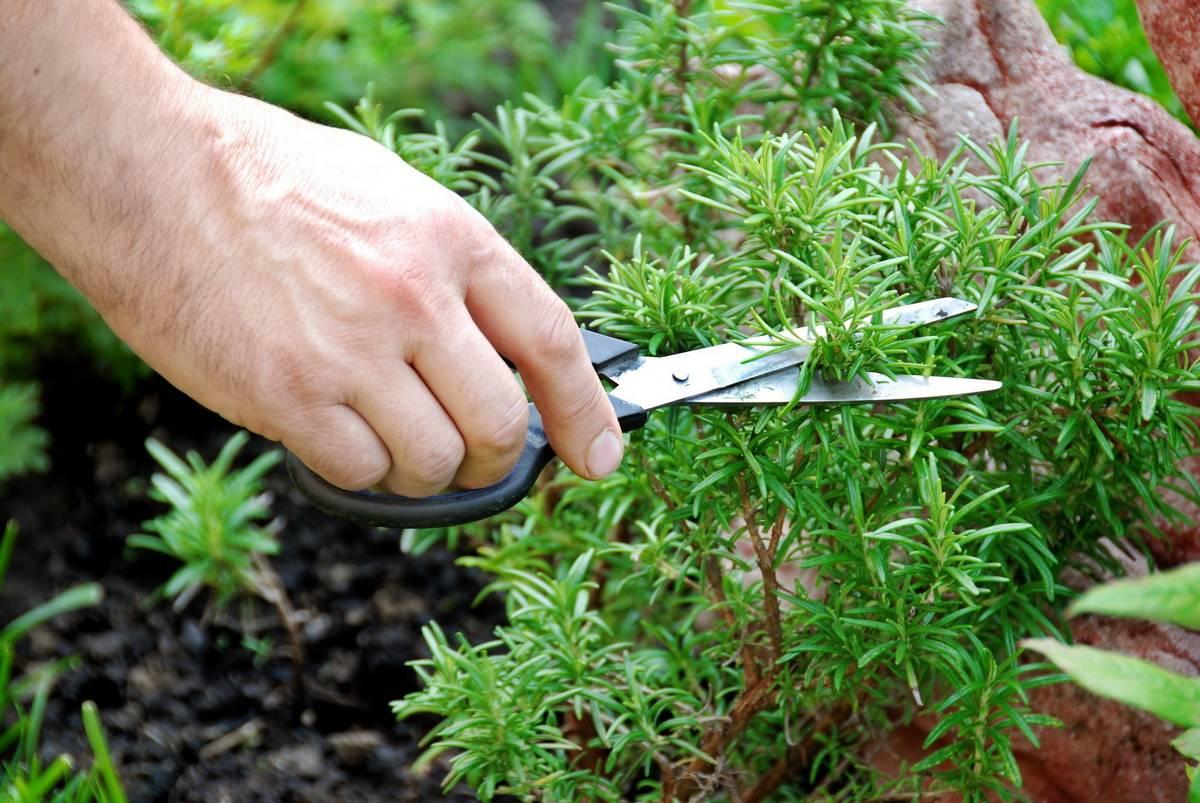 Как выращивать тимьян ползучий: выращивание в открытый грунт, посадка и уход, фото