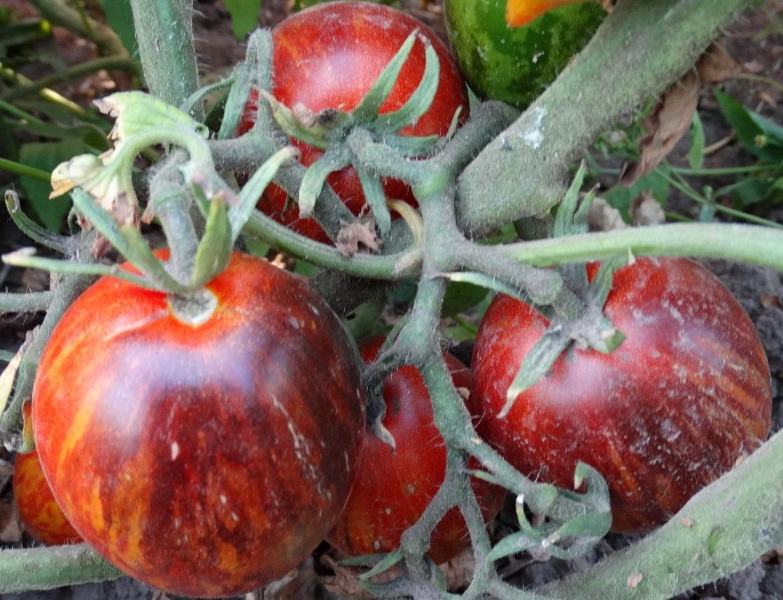 Томат «гном»: неприхотливый урожайный сорт