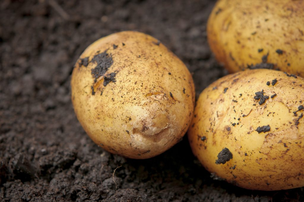 Описание сорта картофеля каратоп: фото, характеристики вида