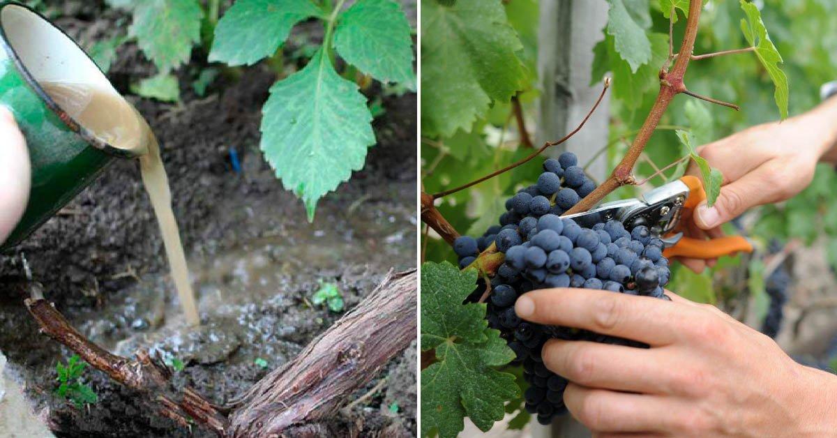 Виноград в июле что делать, правила ухода, список июльских работ на винограднике, чем обработать от болезней и вредителей