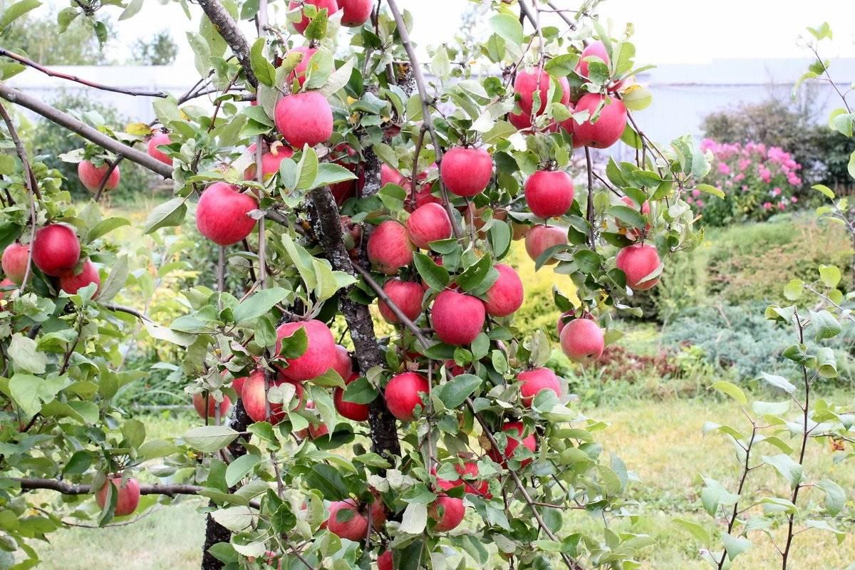 Идеальный осенний сорт яблони для любого сада — уралец