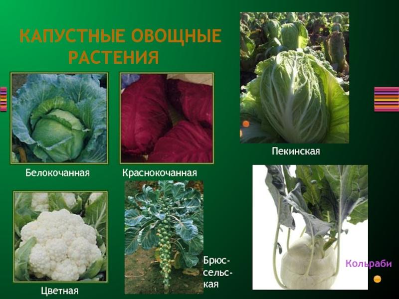 Разновидности капусты: сорта и их характеристика