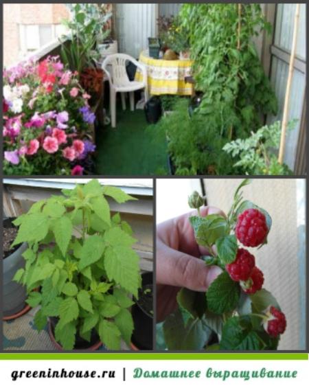 Руководство для начинающих садоводов: как вырастить малину из семян на рассаду в домашних условиях