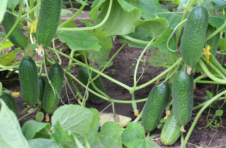 Партенокарпические огурцы: особенности выращивания, лучшие сорта, преимущества и недостатки