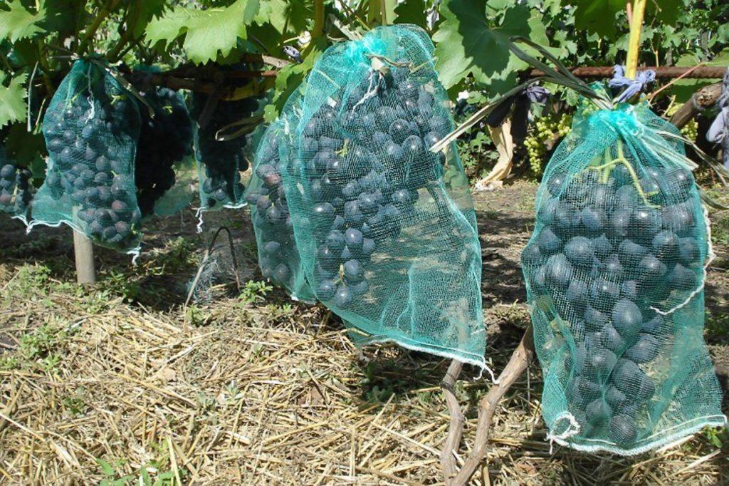 Обработка винограда весной 2019 — болезни и вредители мая, фото, описание и методы борьбы с ними