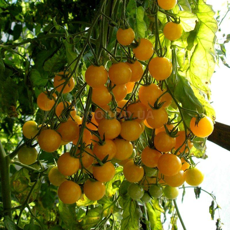 Лучшие сорта жёлтых, оранжевых томатов — для теплиц, открытого грунта, с фото и описанием
