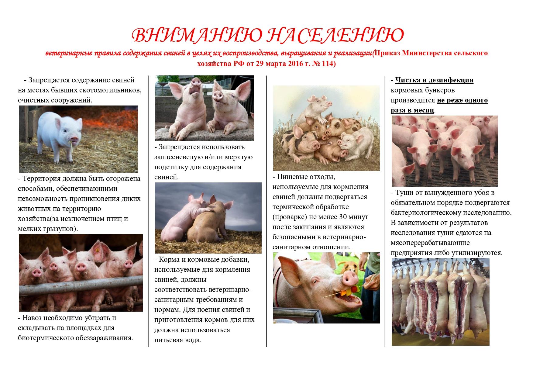 Особенности разведения свиней в домашних условиях