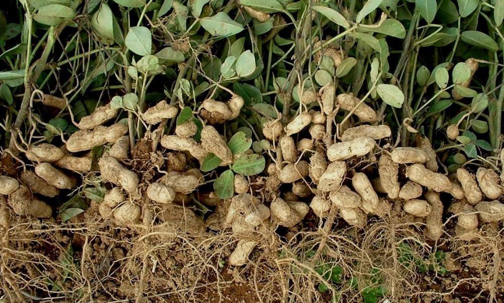 Как правильно посадить и вырастить арахис на огороде?