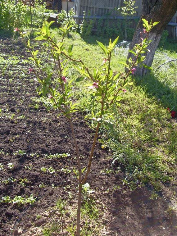 Как вырастить персик из косточки на даче или в домашних условиях + видео