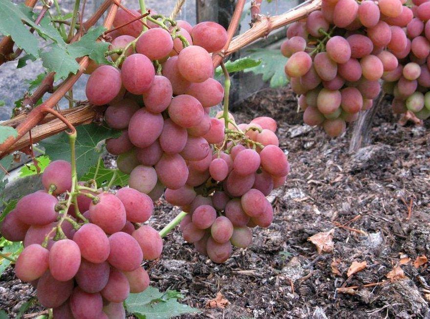 Виноград рубиновый юбилей: основные характеристики, фото и описание сорта selo.guru — интернет портал о сельском хозяйстве