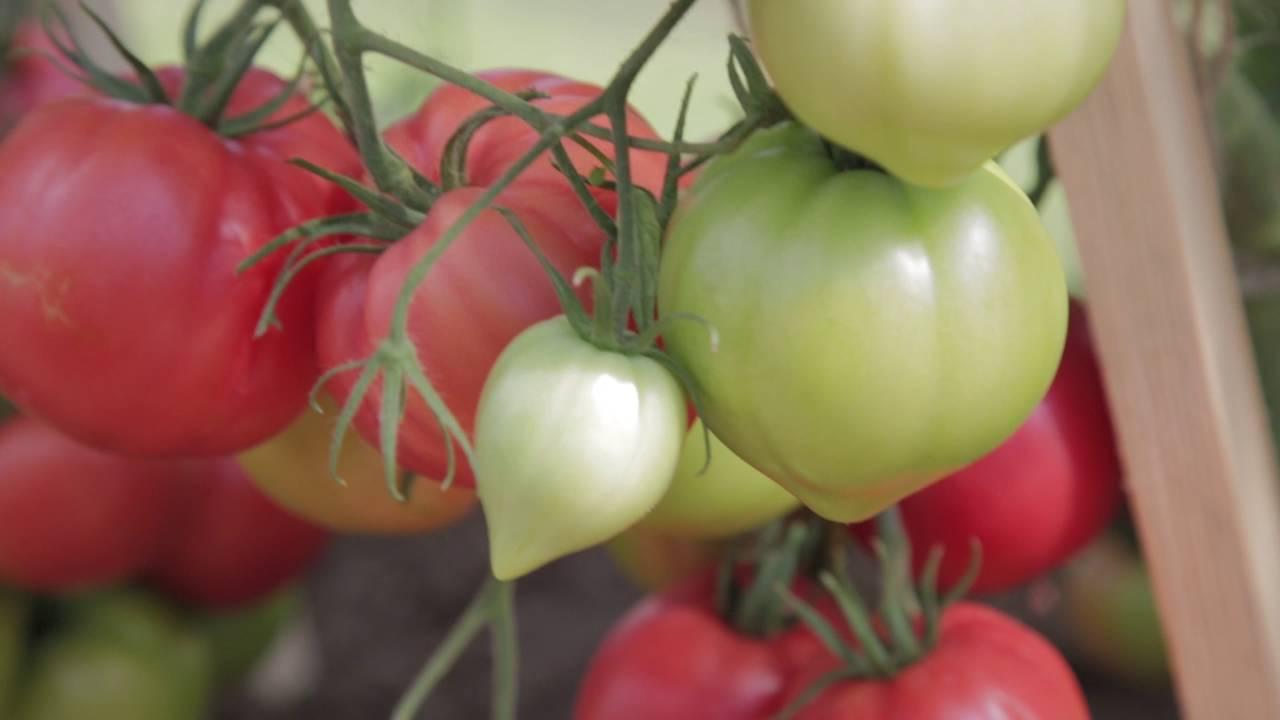 """Томат """"аленка"""": описание гибридного сорта f1, фото, рекомендации по выращиванию богатого урожая помидор русский фермер"""