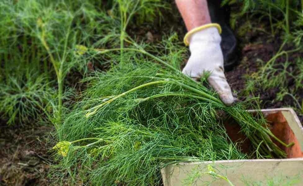 Укроп салют: описание с фотографиями, преимущества зелени и возможные недостатки, а также советы по выращиванию